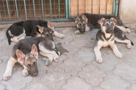Продаются подрощенные щенки восточно-европейской овчарки от молодых, крепких род. Запорожье, Запорожская область. фото 12