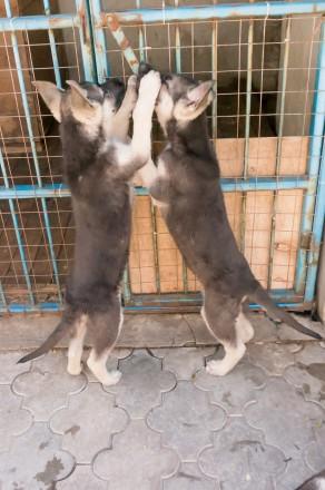 Продаются подрощенные щенки восточно-европейской овчарки от молодых, крепких род. Запорожье, Запорожская область. фото 10