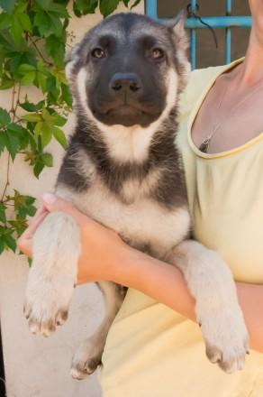 Продаются подрощенные щенки восточно-европейской овчарки от молодых, крепких род. Запорожье, Запорожская область. фото 8