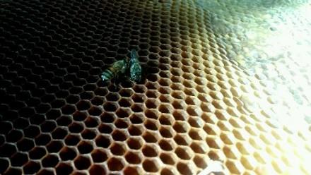 Продам бджоли. Черкаська - обл.  10 сімей.. Жашков. фото 1
