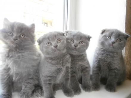 Шотландские котята. Бахмут (Артемовск). фото 1