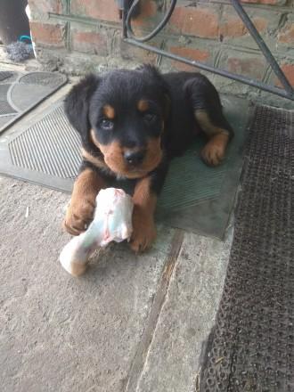 Продам щенка  ротвеллера (девочку). Звонить по тел: 098-604-47-19. Сновск (Щорс). фото 1