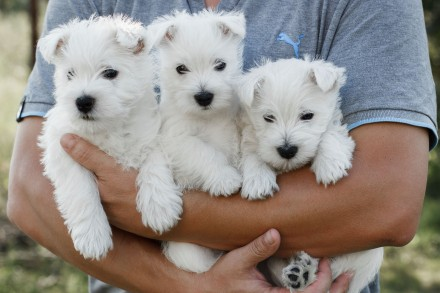 Щенки West Highland White Terrier. Днепр. фото 1