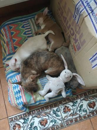 Собаки чихуахуа. Девочка серая с белой лапкой. Вышгород, Киевская область. фото 10