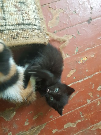 Отдам в хорошие руки котенка. Николаев. фото 1