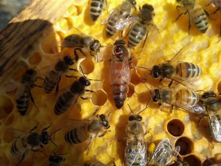 Принимаем предварительные заказы на пчеломатки -сезон 2019 Характеристики Карпа. Черниговка, Запорожская область. фото 3