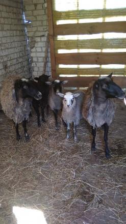 Продам овец. Чернигов. фото 1