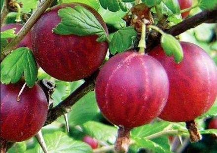 Сажанці плодових дерев. Христинівка. фото 1