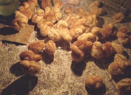 Продам отборные инкубационные яйца курей породы кохинхин. Кропивницкий. фото 1