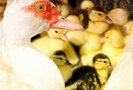 Продам отборные инкубационные утиные яйца породы башкирская. Кропивницкий. фото 1