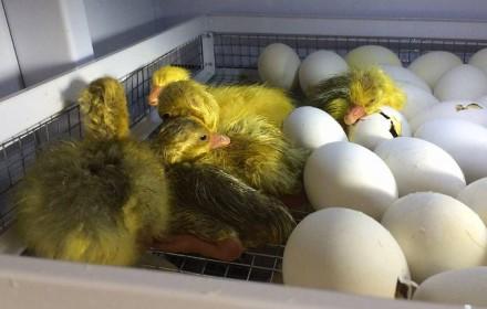 Продам отборные инкубационные утиные яйца породы голубой фаворит. Кропивницкий. фото 1