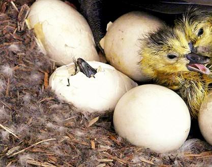 Продам отборные инкубационные яйца гусей породы белая линда. Кропивницкий. фото 1