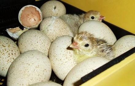 Продам отборные инкубационные яйца индюка породы биг-6. Кропивницкий. фото 1