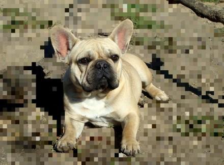 Французский бульдог щенки. Одесса. фото 1