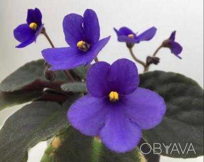 'Optimara Little Inca' ('Оптимара Литл Инка') (Holtkamp) Простой темно-синий цве. Николаев, Николаевская область. фото 1