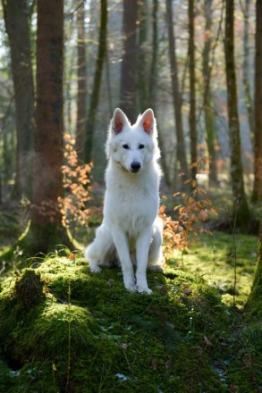 Цуценята білої швейцарської вівчарки. Городенка. фото 1