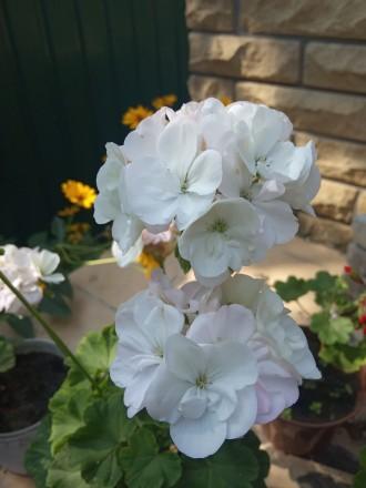 Красивенькая герань,молоденький кустик уже цветет и есть еще бутоны.Фото мои на . Кременная, Луганская область. фото 5