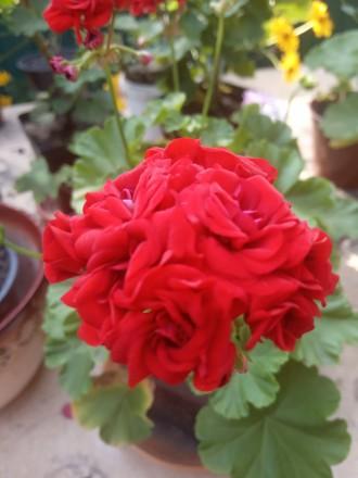 Красивенькая герань,молоденький кустик уже цветет и есть еще бутоны.Фото мои на . Кременная, Луганская область. фото 6