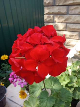 Красивенькая герань,молоденький кустик уже цветет и есть еще бутоны.Фото мои на . Кременная, Луганская область. фото 4