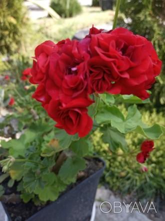 Красивенькая герань,молоденький кустик уже цветет и есть еще бутоны.Фото мои на . Кременная, Луганская область. фото 1