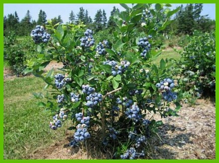 Саджанці голубіки з ягодами 2-х річка. Белая Церковь. фото 1