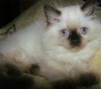 Котёнок Регдолл, кошечка, силпойнт, 2 месяца. Голубоглазая пушистая и добрая.. Киев. фото 1