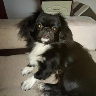 Ищем самых заботливых хозяев для чудесной собаки. Японский хин Джос.. Киев. фото 1
