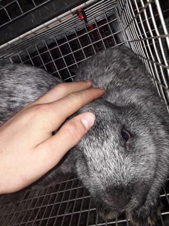 Кролики полтавское серебро. Кривой Рог. фото 1
