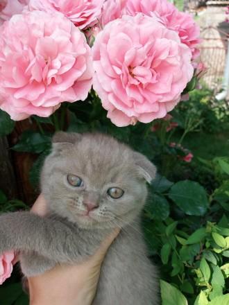 Висловів кошеннята. Шотландської породи: киця і котик.. Тернополь. фото 1