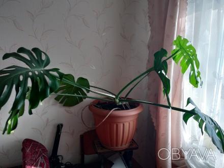 продам монстеру кущову, має сім листків. Вік приблизно 4 роки.. Львов, Львовская область. фото 1