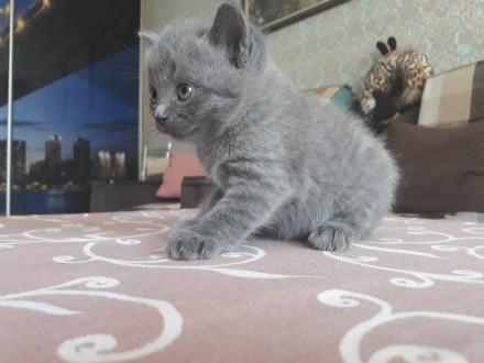 Родились котята 25.05.19 остались прекрасные 2 девочки, 1 фолд и 1страйт. Приуче. Чернигов, Черниговская область. фото 3