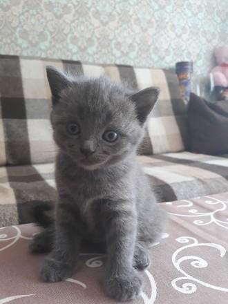 Родились котята 25.05.19 остались прекрасные 2 девочки, 1 фолд и 1страйт. Приуче. Чернигов, Черниговская область. фото 4