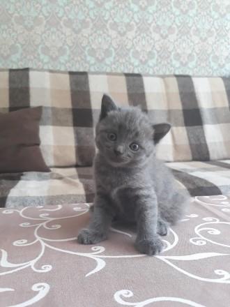 Родились котята 25.05.19 остались прекрасные 2 девочки, 1 фолд и 1страйт. Приуче. Чернигов, Черниговская область. фото 5