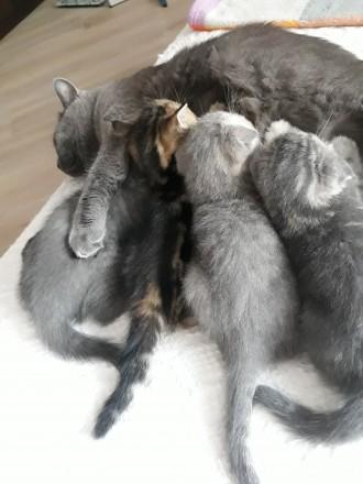 Родились котята 25.05.19 остались прекрасные 2 девочки, 1 фолд и 1страйт. Приуче. Чернигов, Черниговская область. фото 8