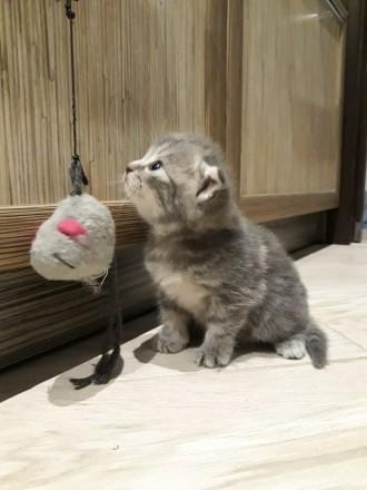 Родились котята 25.05.19 остались прекрасные 2 девочки, 1 фолд и 1страйт. Приуче. Чернигов, Черниговская область. фото 2