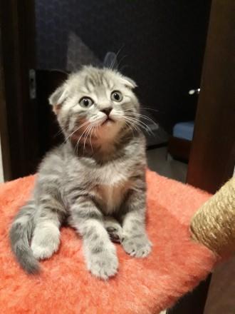 Родились котята 25.05.19 остались прекрасные 2 девочки, 1 фолд и 1страйт. Приуче. Чернигов, Черниговская область. фото 6