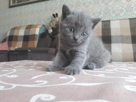 Родились котята 25.05.19 остались прекрасные 2 девочки, 1 фолд и 1страйт. Приуче. Чернигов, Черниговская область. фото 12