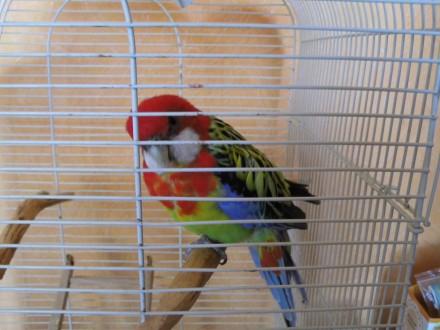 Продам папугу РОЗЕЛЛА. Днепр. фото 1