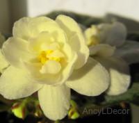 Фиалки сортовые, детка Warm Sunshine - красивые лимонно-жёлтые цветы. Киев. фото 1