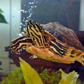Большая красноухая черепаха.. Кропивницкий. фото 1