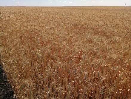 Насіння озимої пшениці Шестопалівка. Киев. фото 1