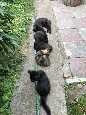 Котята от домашней кошки. Черкассы. фото 1