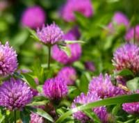 Клевер цветы 50 грамм. Чернигов. фото 1