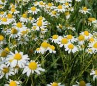 Ромашка лекарственная (цветы) 50 грамм. Чернигов. фото 1