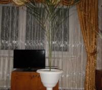 Финиковая пальма в горшочке на высокой ножке. Возраст 12 лет. Здоровая, хорошо р. Тальное, Черкасская область. фото 3