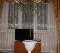 Финиковая пальма в горшочке на высокой ножке. Возраст 12 лет. Здоровая, хорошо р. Тальное, Черкасская область. фото 2