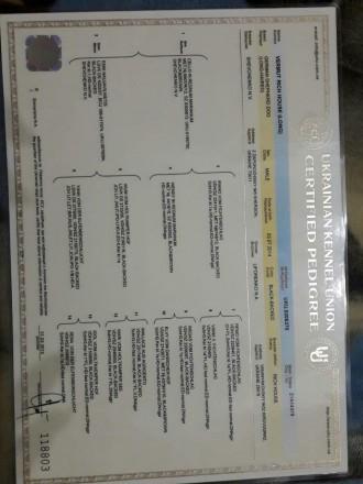 Довгошорсні цуценята Німецької вівчарки з повним пакетом документів КСУ/MCI. З . Киев, Киевская область. фото 5