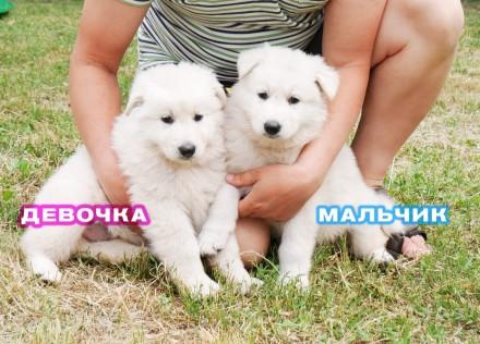 Продам щенков белой швейцарской овчарки (БШО) 2,5 мес.. Днепр. фото 1