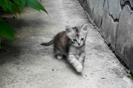 Пушистый серый котенок, девочка, полтора месяца. Днепр. фото 1