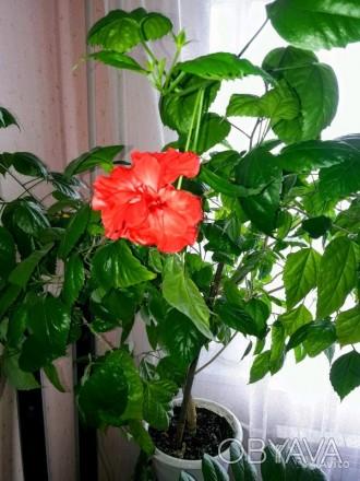 Продам Китайскую розу (Гибискус). Высота 1м.. Чугуев, Харьковская область. фото 1